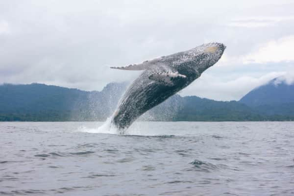 Whales on nuqui
