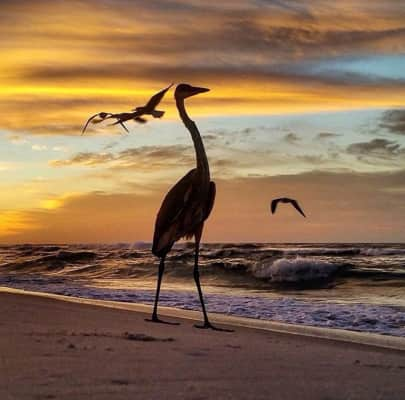 Great blue heron in his kingdom., silhouette,  flying birds, flying seagulls, colorful sky, beautiful sky, seaside, seashore,  seascape, vacation getaways,  getaways,  nature, nature in winter, natures moments, wild animals, gulf coast, copy space, backgrounds,  background, wallpaper,  natural backgrounds,  ocean waves, sand, sandy beach, beach day, day at the beach.