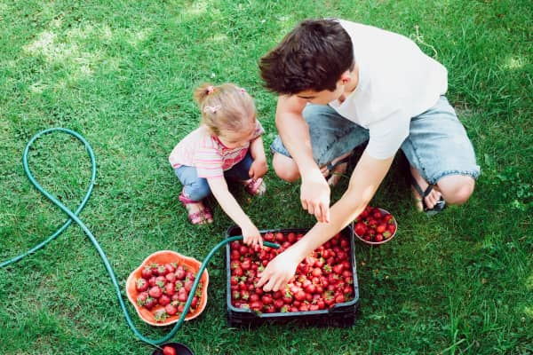 Fresh strawberries. Young boy and his little sister washing strawberries freshly picked in a garden