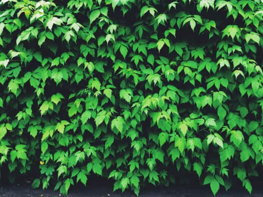 textured vegetative background from bright green grape leaves by a wall.