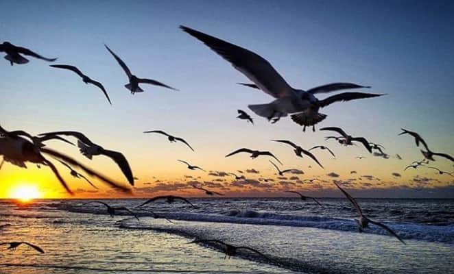 Flight of the seagulls at sunrise in a natures moments scene in nature over the ocean and in the sea on gulf coast of Florida at the Golden hour and beautiful sky.