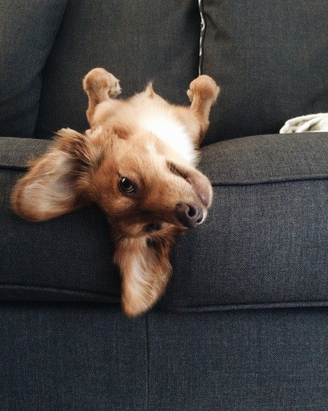 Cute adorable dog laying on a couch upside down.