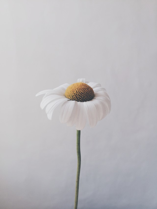 Free authentic daisy photo on Reshot
