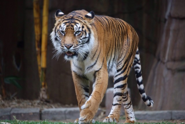 Free authentic tiger photo on Reshot