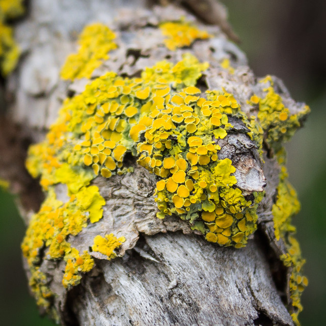 'Yellow Tree Lichen'
