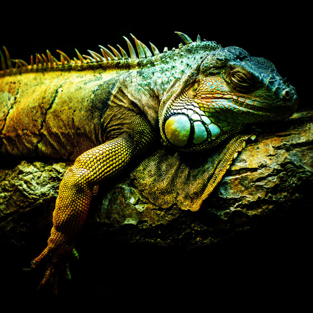 Free authentic iguana photo on Reshot