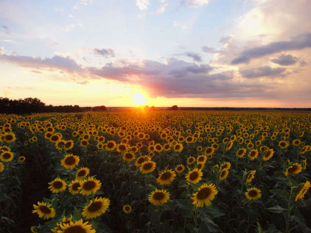 Free authentic sunflowers photo on Reshot
