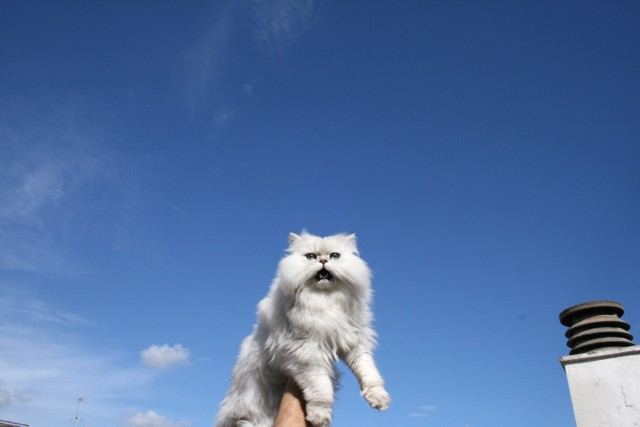 Free authentic persian cat photo on Reshot