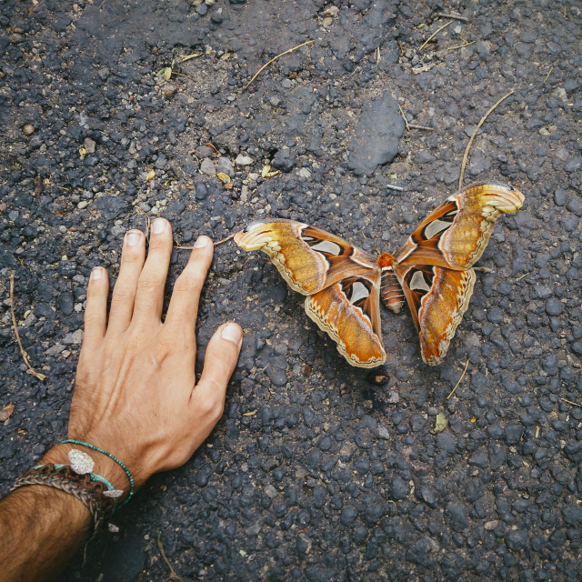 Huge Tropical Butterfly