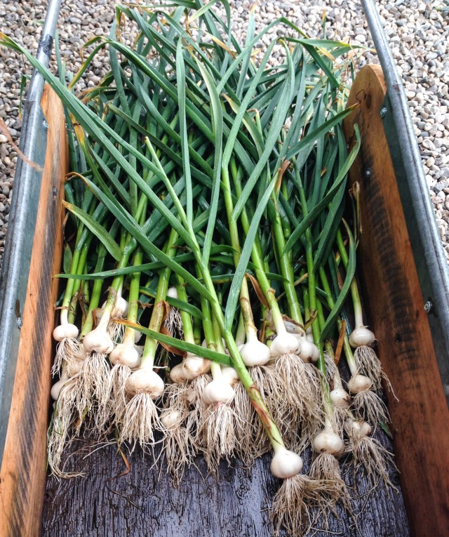 Freshly picked garlic in a wheelbarrow