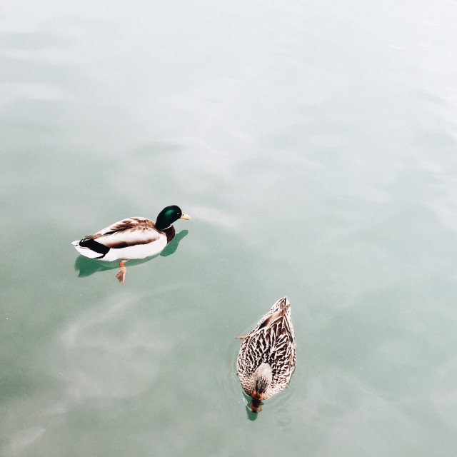 Free authentic duck photo on Reshot