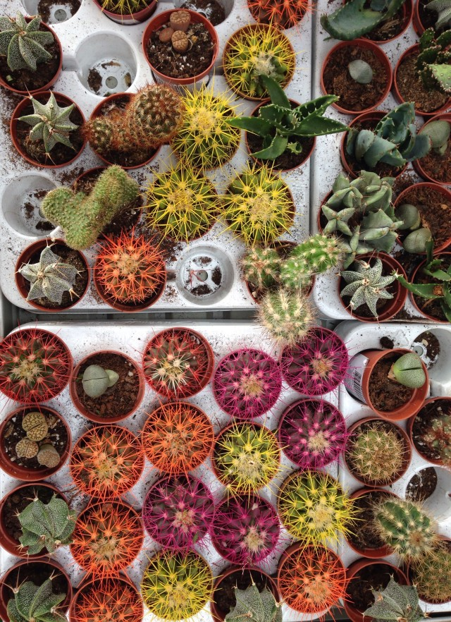 Multicolored cactuses