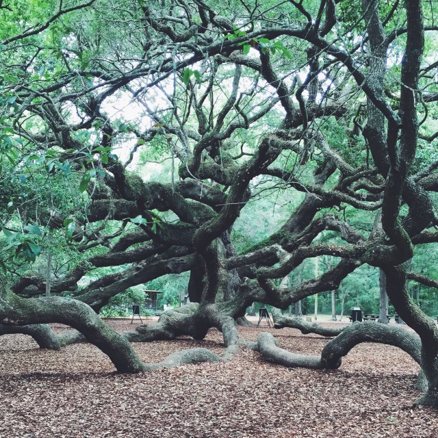 Historic Angel Oak Tree in Charleston, South Carolina