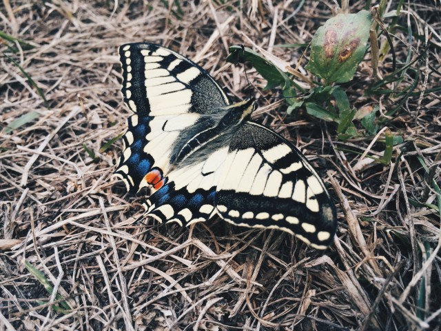 swallowtail butterfly daydreaming