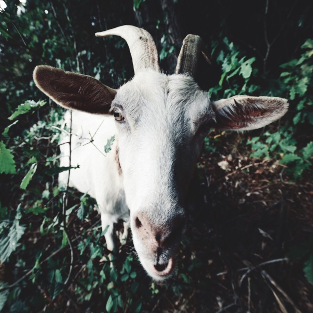 Free authentic goats photo on Reshot