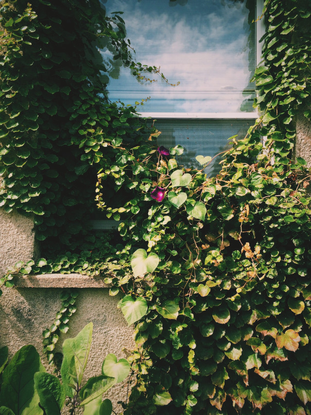 Window covered in vine