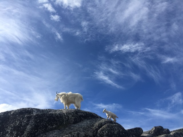 Enchanted Goats