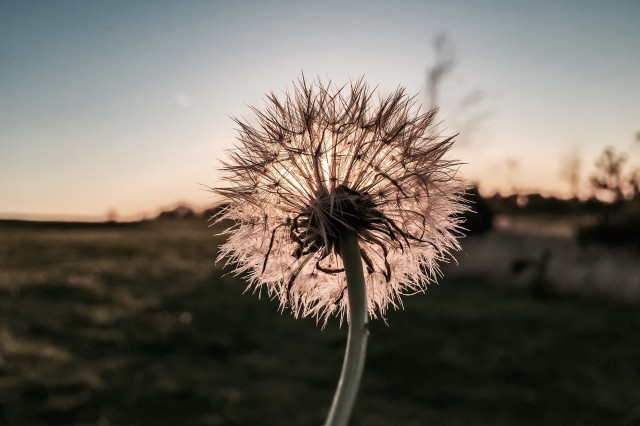 Sunset and a dandelion clock!