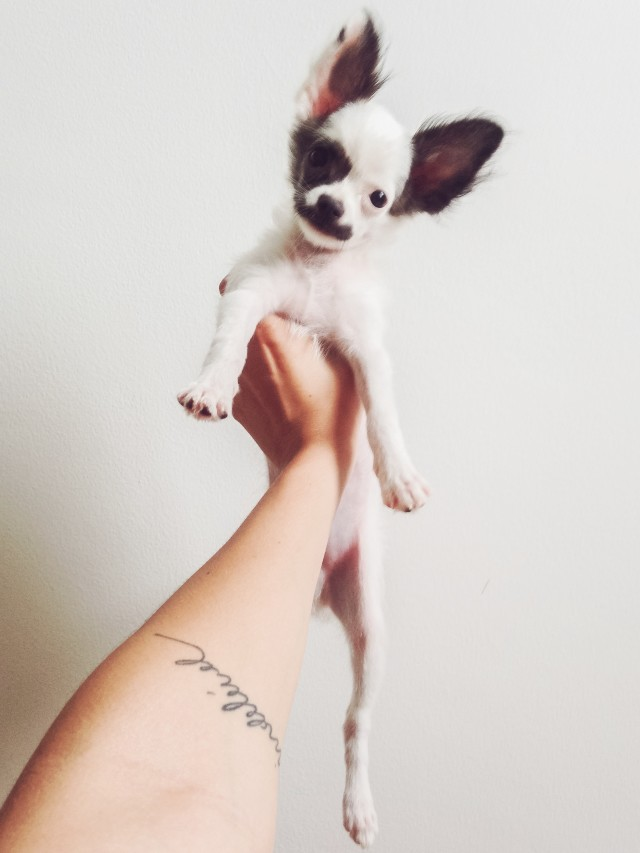 Free authentic chihuahua photo on Reshot