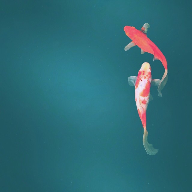 Koi in turquoise pond