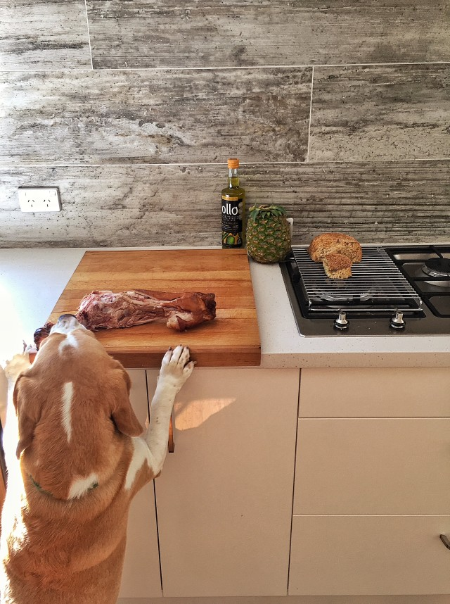 Almost got it, hungry beagle!!!