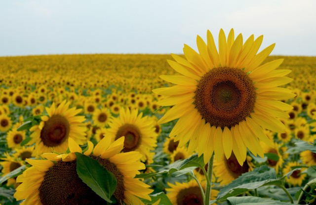 Free authentic sunflower photo on Reshot