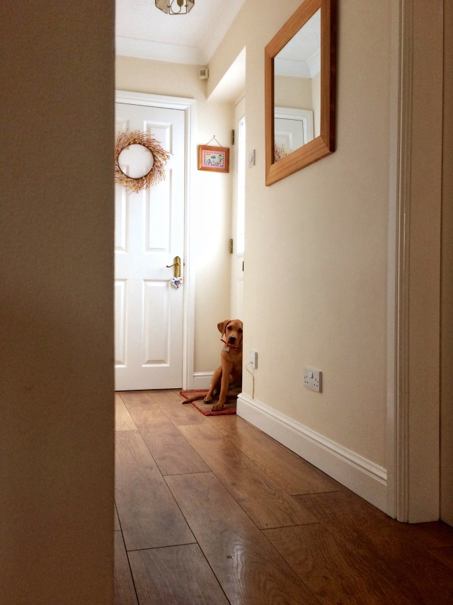 A Labrador retriever puppy waiting patiently and obediently at the front door of a house for a walk •••NOMINATED•••