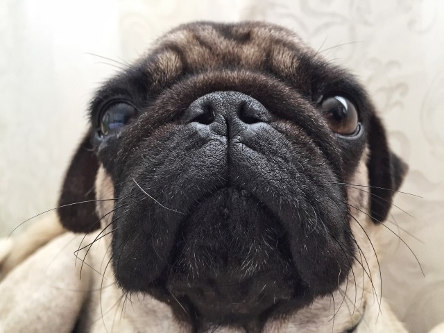 Close up of a puppy pug dog