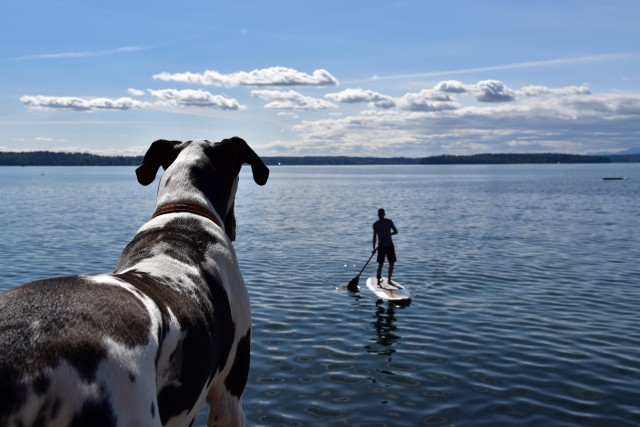 Over shoulder of great dane dog keeping close eye on stand up paddle boarder off the beach house sea wall. RLTheis