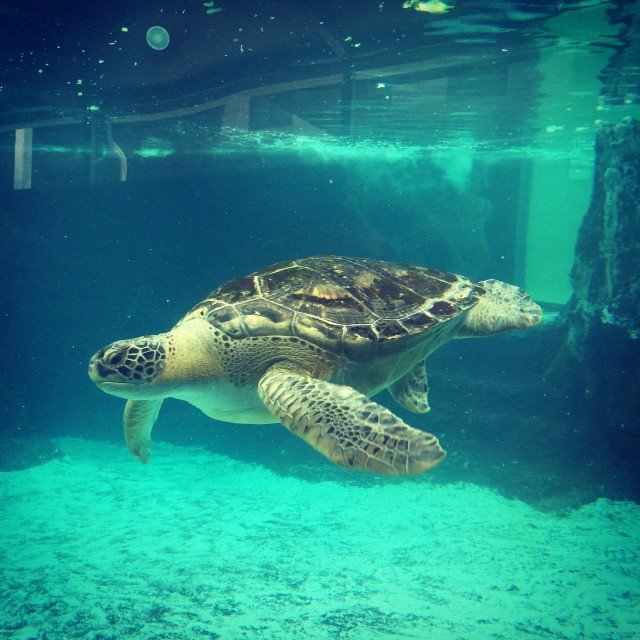 Sea turtle in a marine aquarium in Sarasota Florida.
