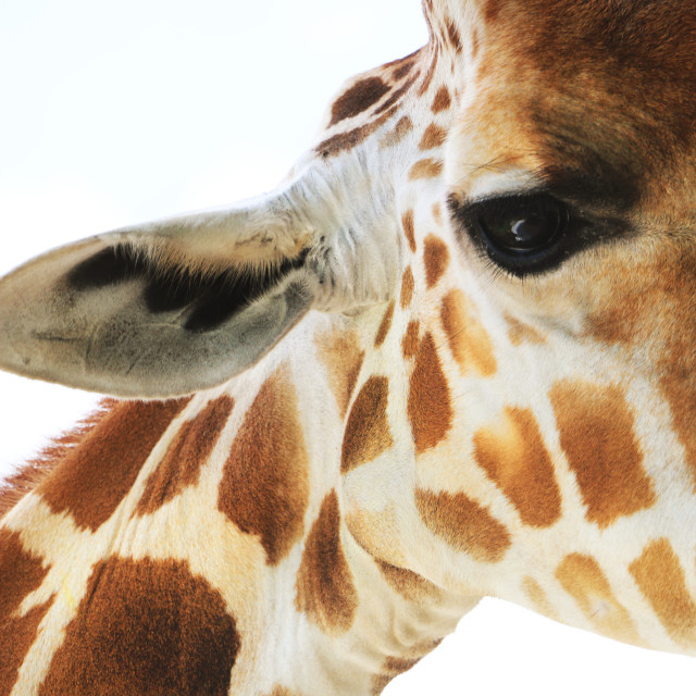Up close and personal with a giraffe