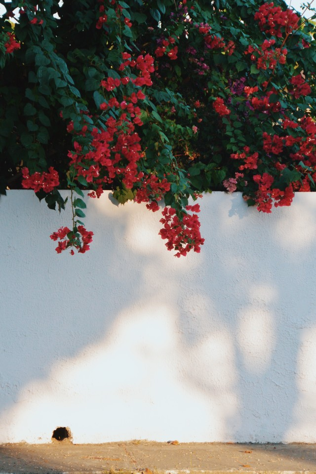 Shadows and a bougainvillea tree.