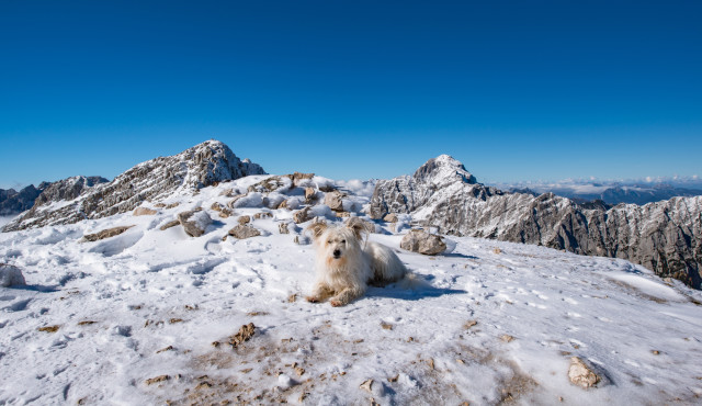 Small white dog at the top of the mountain in the Alps. Acitvity with dog, hiking in the wilderness.