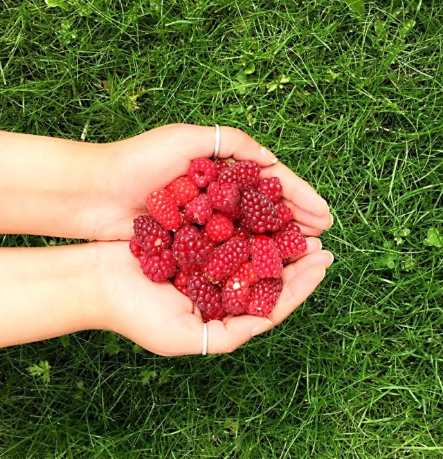 Handful of Freshly picked homegrown raspberries