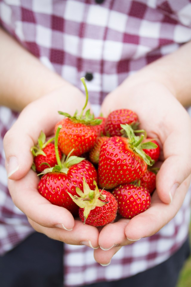 A close up of a gardener holding a handful of ripe, fresh strawberries that he picked from his garden or allotment.