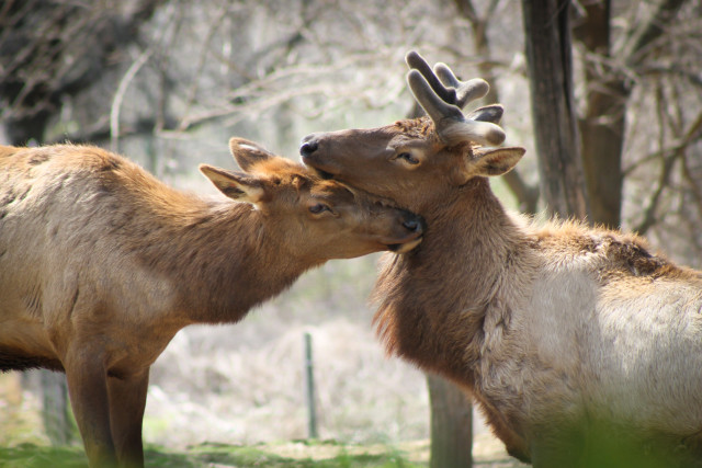 Two roosevelt elk deer at the Queens Zoo