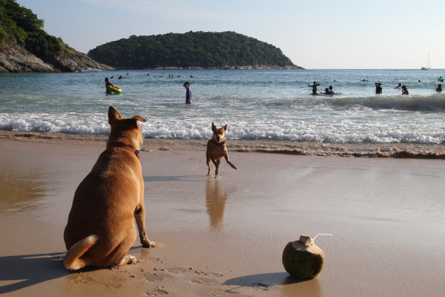 Travel to island Phuket, Thailand. Playing dogs and coconut on a beach near to a sea.
