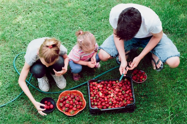 Siblings washing strawberries freshly picked in a garden