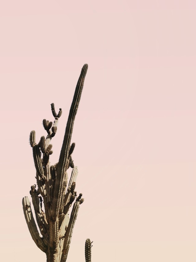 Cactus against a pink sky