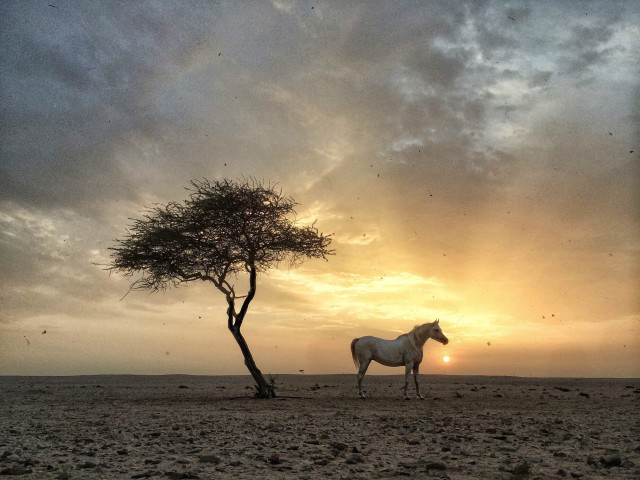 Arabian horse with a tree at sunset. Qatar
