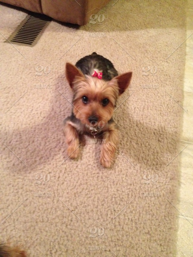 Yorkie Hair Bow Pink Puppy Stock Photo D74d2f31 5566 4157 8fde
