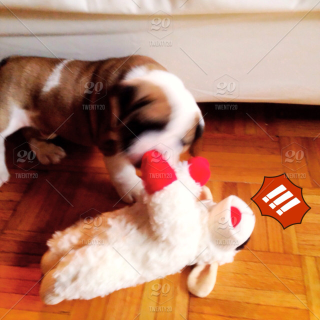 Bulldog Puppy Playing With His Lamb Chop Stuffed Toy Stock Photo