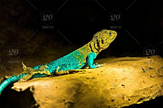 Animal, reptile, selective-focus, rock, colorful, animals