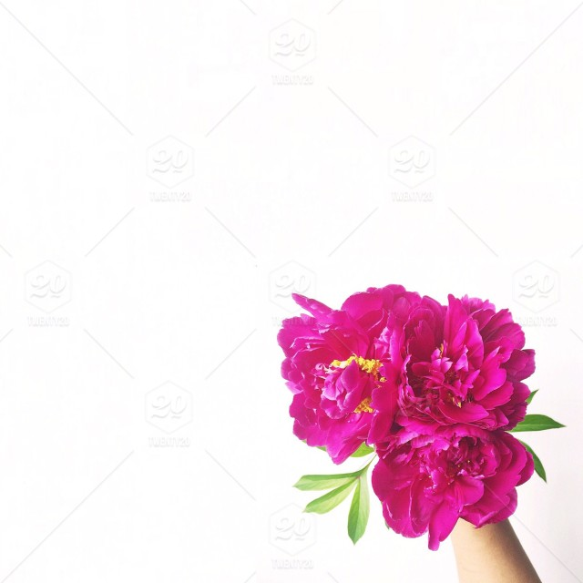 Small bouquet of hot pink peony flowers on a white background stock small bouquet of hot pink peony flowers on a white background mightylinksfo