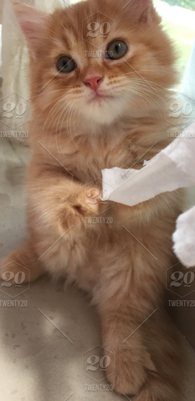 Super Cute Kitten Garfield And Oren His Name Stock Photo 4ada9b13 B3a9 473d 84b1 8556ca25a341
