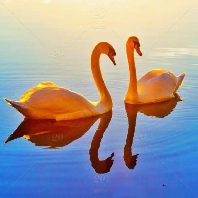 stock photo, outdoors, wildlife, river, water, sunlight, reflection, sunset, animals, swan, lake, feather, sunrise, birds, bill, ripple, beaks, swans