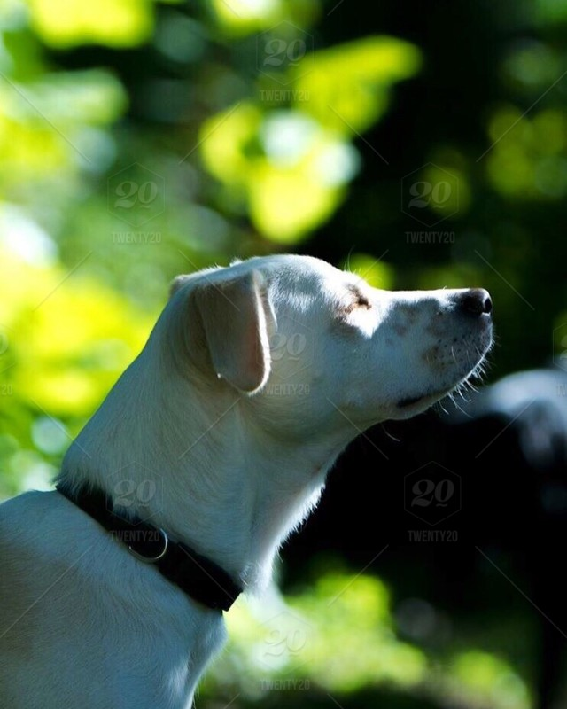 stock photo, outdoors, dog, green, labrador, puppy, greenery, dogs, doggy, lab