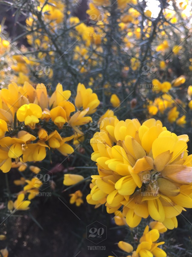 Early Spring Yellow Flower Bush Flowers Healthy