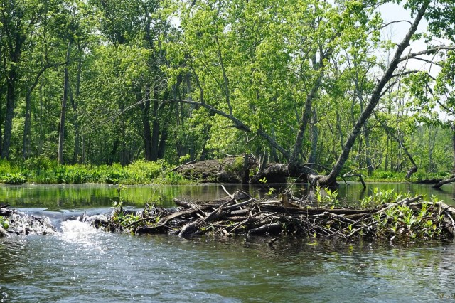 Beaver Dam and Beaver Lodge at The Great Swamp   stock photo