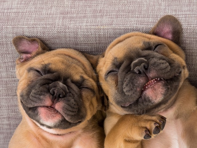 Smiling French Bulldog Puppies Stock Photo 58884ead 8650 4372